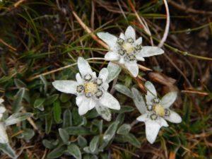 Alpine Snow Flower Has Real Lifting Power